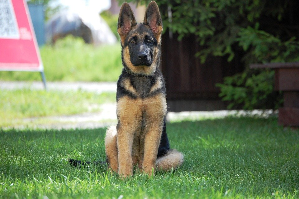 German Shepherd Teething And How To Deal With It
