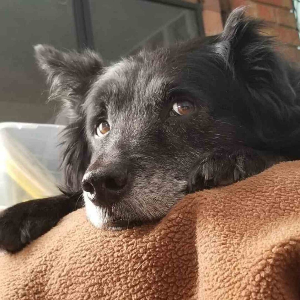 Border Collie Chow: Training Tips & All Facts About the Mix