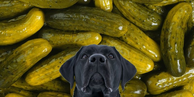 are pickles bad for dogs, can dogs eat pickles?