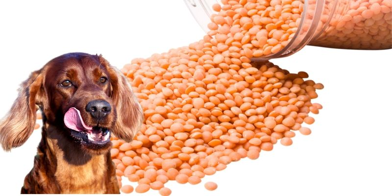 can dogs have lentils