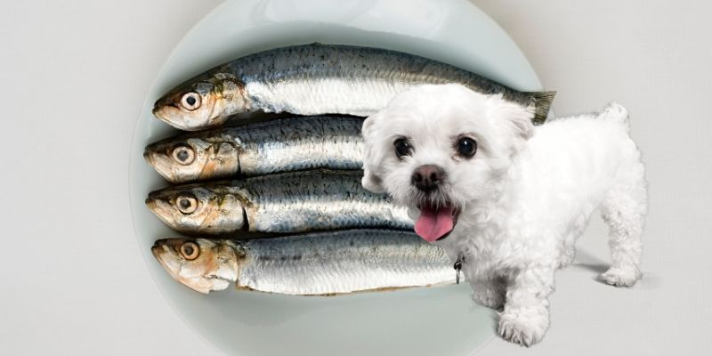 dog wants sardines