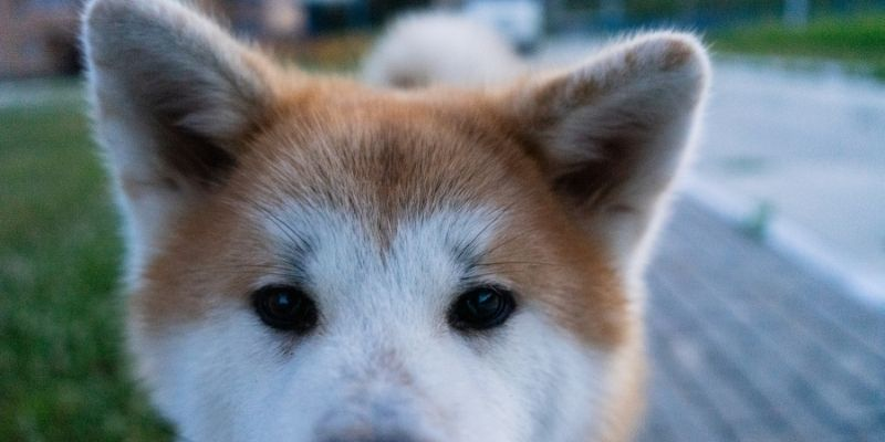 dogs that look like foxes akita inu