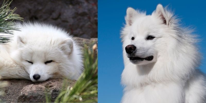 arctic fox like dog breed american eskimo dog
