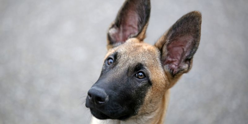 belgian shepherd vs german shepherd