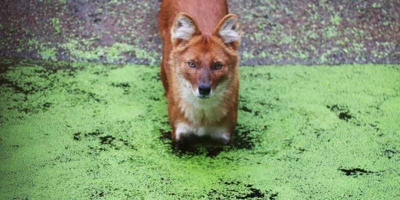 fox dog dhole