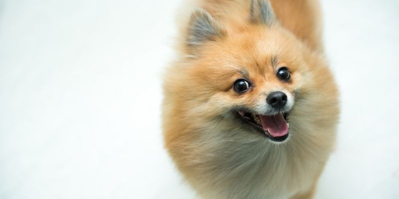 fox like dogs pomeranian