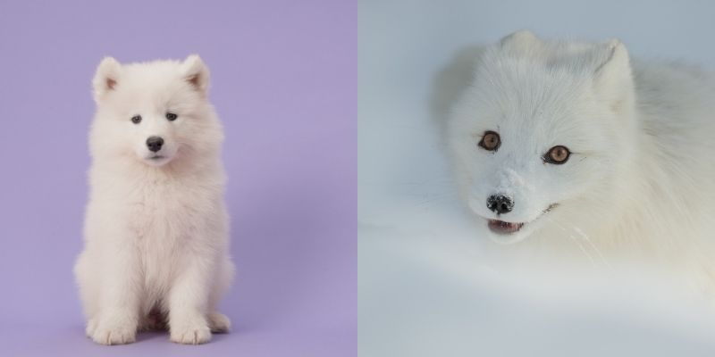 samoyed dog looks like fox arctic