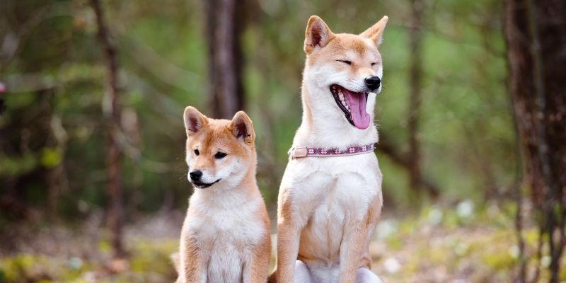 dog breeds that look like a fox