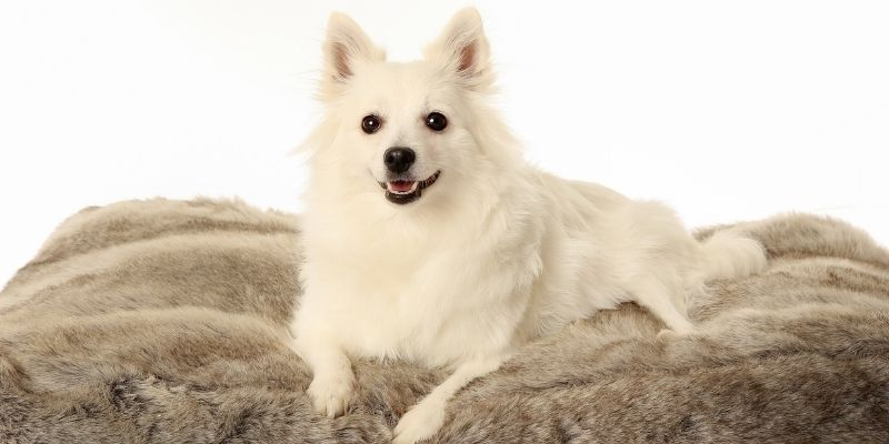 arctic fox like dog breed volpino italiano
