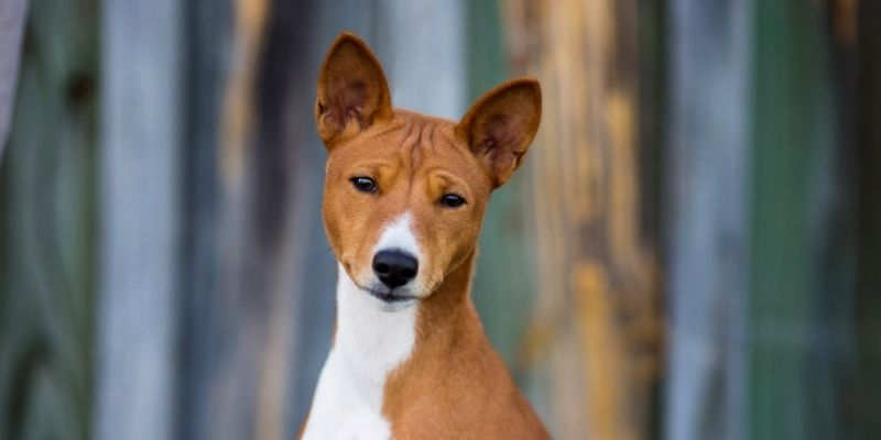 ancient african dog breeds basenji