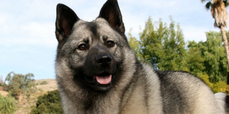 ancient norwegian dog breed elkhound