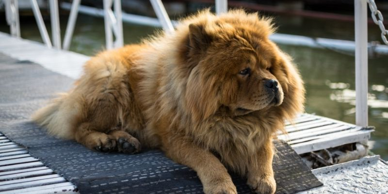oldest breed of dog from chine chow chow