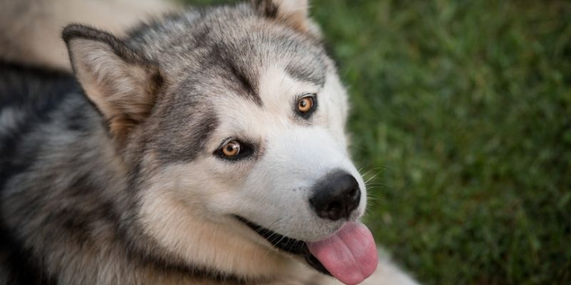 earliest dog breeds close to wolves husky
