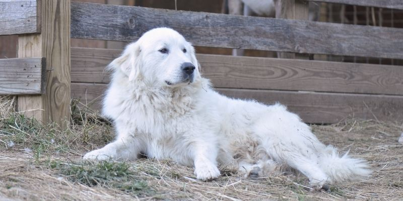 large white dog breed