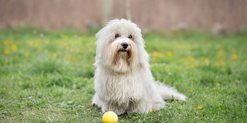 small white dog breed coton de tulear
