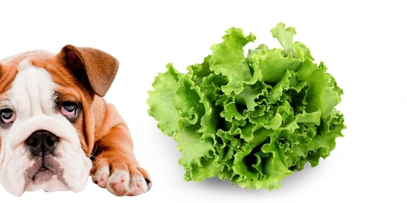 sick dog and lettuce