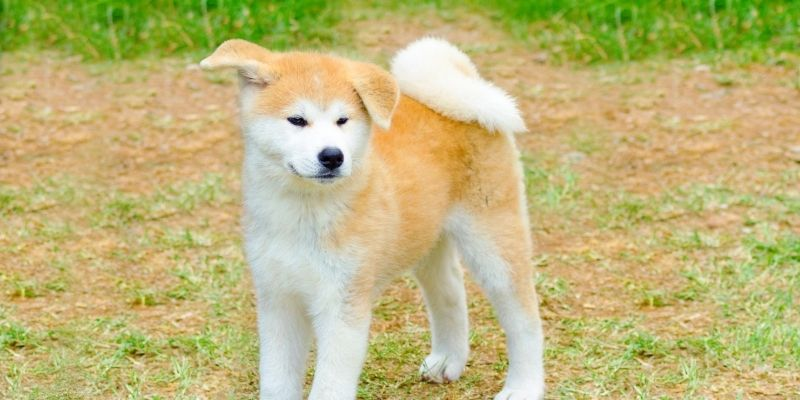 oldest breed of dog akita