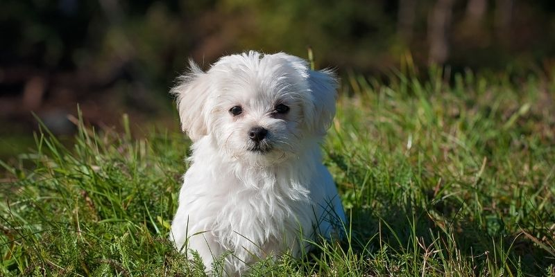 white dog breed maltese